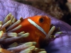 amphiprion-nigripes-1