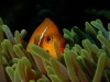 amphiprion-nigripes-6