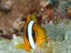 amphiprion-nigripes